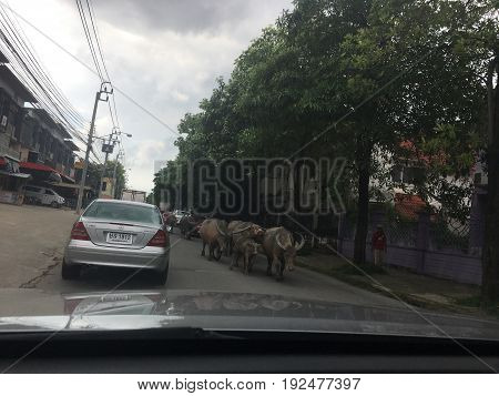 Bangkhuntian Chitalae Road, Bangkok, Thailand, 2017, On the street there is a buffalo with walking, traffic jam Because there are buffalo walking on the street.