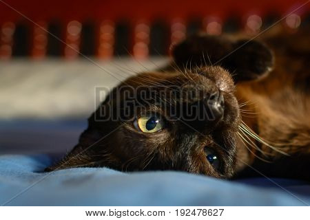 Close Up Animal Brown Cat Sleeping In Bed And Light Bokeh Background