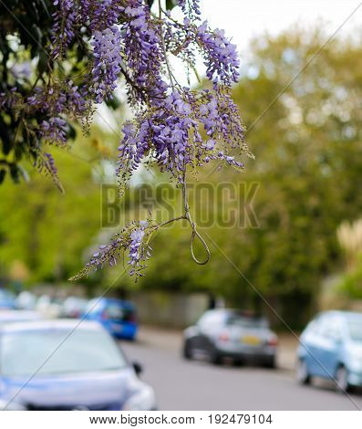 Wisteria Loop Twisted Twig With Purple Blue Petals Flowers