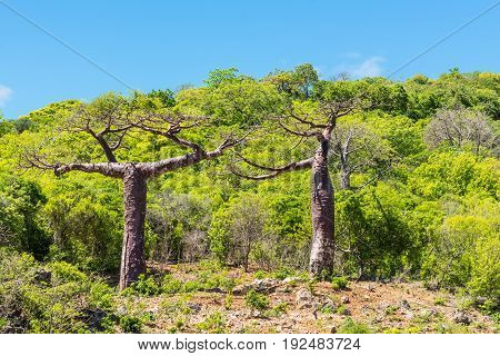Baobab trees in Madagascar - wildlife Africa