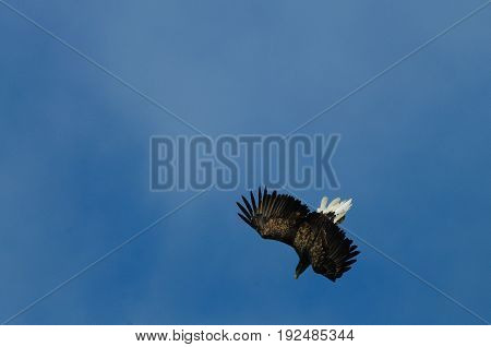 Close-up of a sea eagle in full flight: Lofoten, Norway.