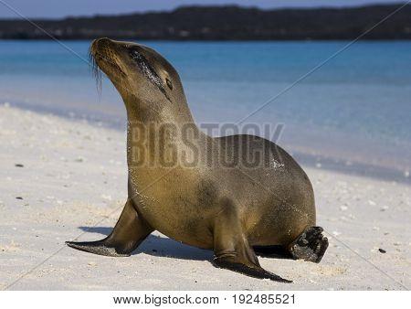 Young sea lion on the beach at Galapagos islands. Ecuador
