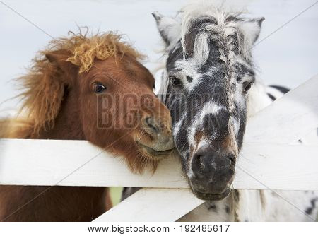 Portraits of Two nice ponies close up, brown and white and black pony
