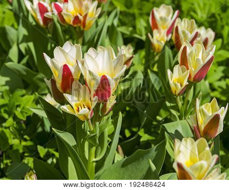 Tulips Of The Kaufmanniana Floresta Species.