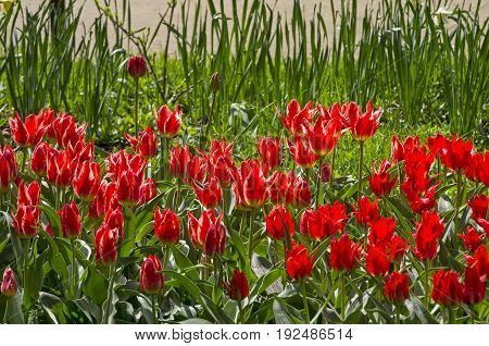 Bright red tulips on the lawn. Sunny day in May.