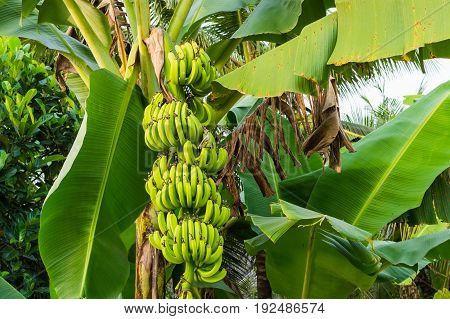 Banana tree with bunch of growing green bananas plantation rain-forest background