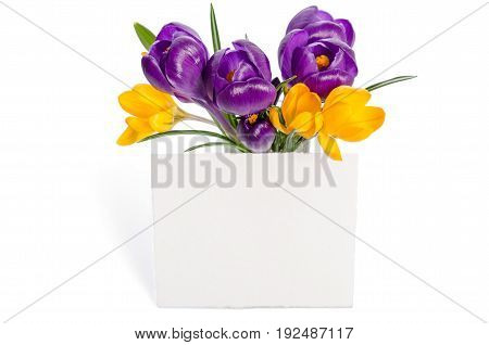 Bouquet From Crocus Flowers In Vase  With Empty Card For Your Text Isolated On White Background
