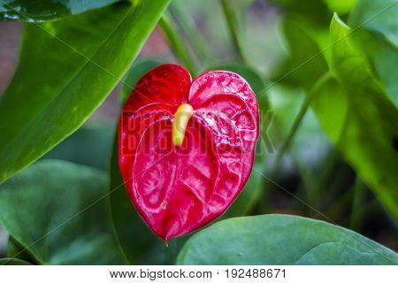 Anthurium / Tropical plant  foliage plants of Southeast Asia