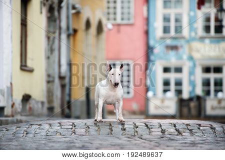english bull terrier dog posing in the city