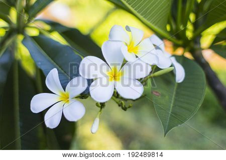 Plumeria / Tropical plant  foliage plants of Southeast Asia