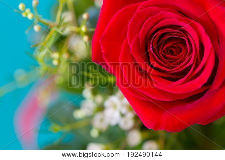 Close up view of a blooming red rose with a blurred background of greenery and baby breath on a blue background