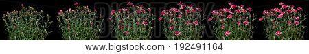 Pink carnation time lapse series
