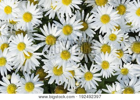 View in beautiful white Marguerites in the Morning Ligh. Close-up of blooming Marguerites in Sunlight. White Marguerites (Chrysanthemum frutescens)