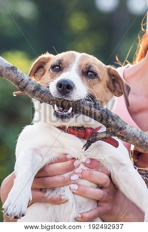 Jack Russell Terrier dog holding a wooden stick in the owner hands