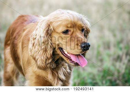 Portrait of a beautiful purebred cocker spaniel