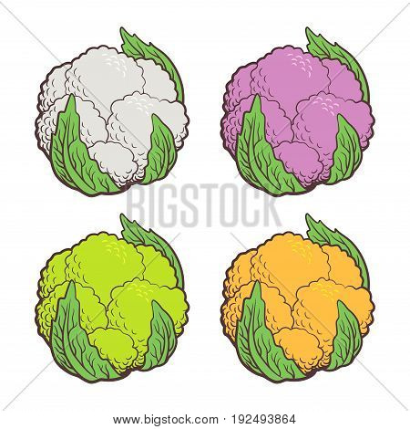 Stylized illustration of cauliflower. Different sorts of colored cauliflower: white purple green (broccoflower) and orange. Vector isolated on white