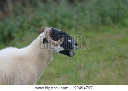 Cativating Horned sheep on a farm in ireland