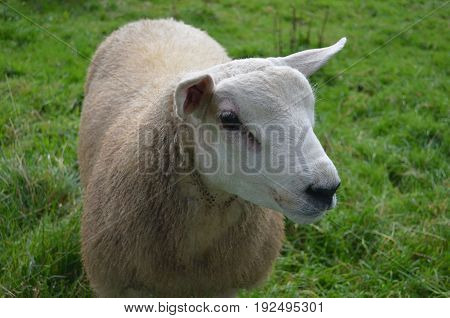 Gorgeous White Sheep In A Grassy field in ireland