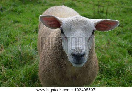 Beautiful White Sheep in a remote location