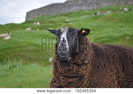 A beautiful colorful sheep in a grassy field