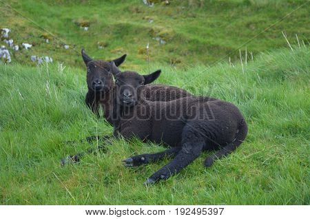 Adorable Black Sheep restng in a grass field