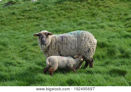 A sheep feeding her baby in ireland