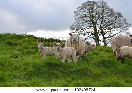 White Sheep Chilling on grassy hill in ireland