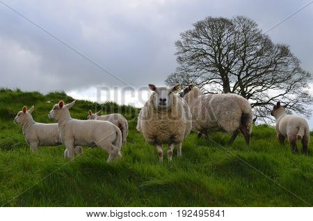 White sheep wandering on a hill in ireland