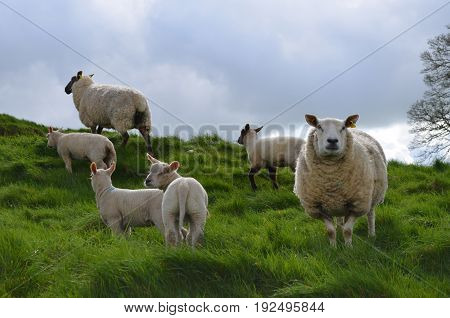 Sheep roaming a grassy hill in ireland
