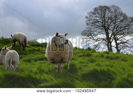 many Sheep roaming around in a grassy field