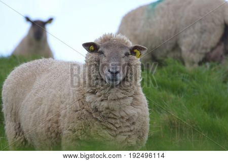Gorgeous Sheep in a grassy field in ireland