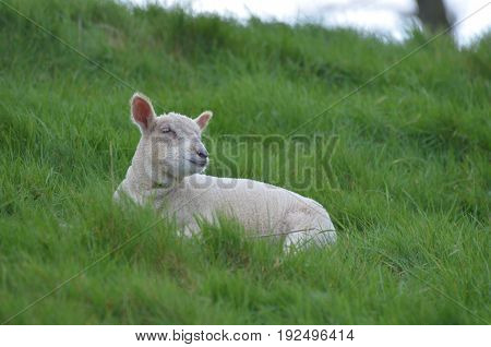 Adorable White sheep resting in a field in ireland