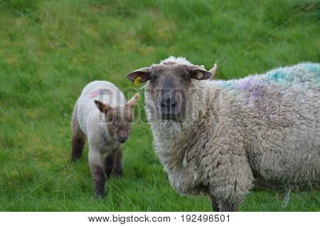 two cute sheep in a remote location