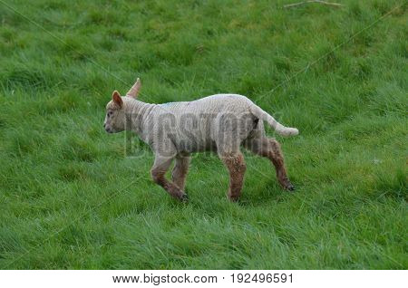 Adorable White sheep in a remote location