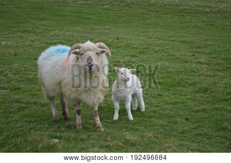 Cute Sheep with horns and her baby