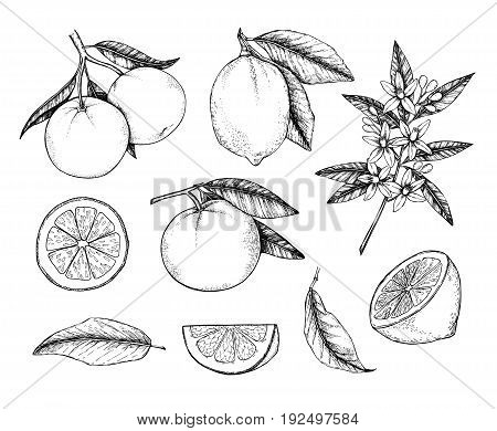 Hand Drawn Vector Illustration - Collections Of Lemons And Oranges. Branches With Citrus Fruits. Flo