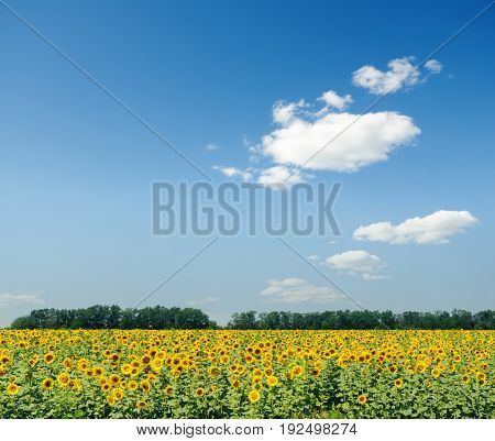 agriculture field with sunflowers and blue sky with clouds over it