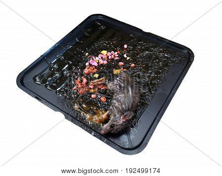 isolated death mouse and toxin food on mouse glue  trap on white background