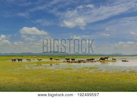Group Of Buffalo Crowd Walking And Eating Green Grass Beside Lake