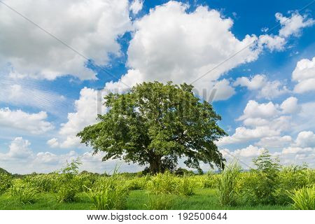 Lonely Tree In Natural Green Grass Field Under Cloudy Blue Sky Summertime