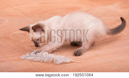 Adorable Siamese kitten playing with a feather