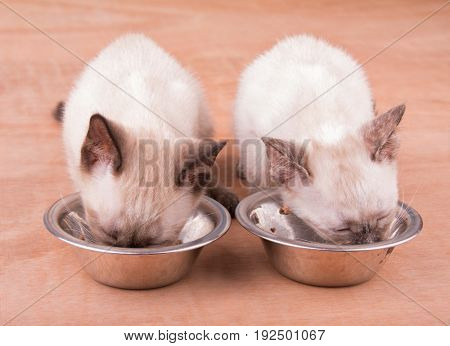 Two adorable Siamese kittens eating from silver bowls