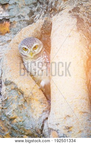 Little Owl in tree hole natural wild animal