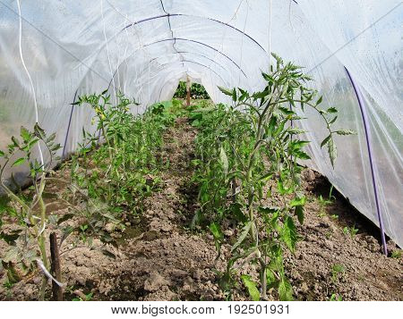 Green bushes tomato in the greenhouse. Cultivation of vegetables in a kitchen garden