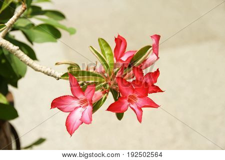 Closeup Red Azalea flowers with green Leaves