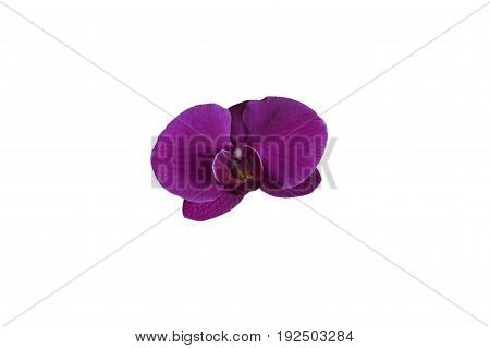 Single magenta colored orchid orchidaceae flower top view isolated on a White background