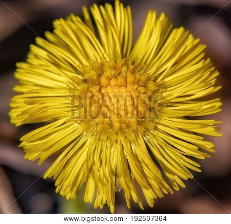 One yellow flower macro. Coltsfoot flowers. Tussilago farfara.