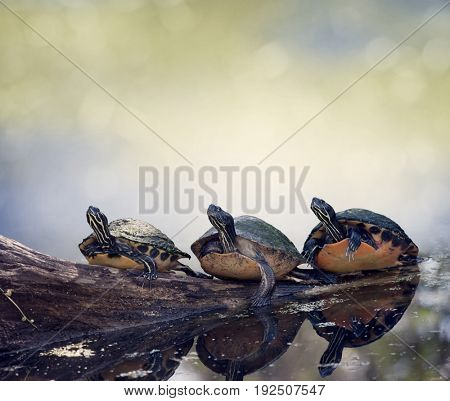 Three Florida Turtles Sunning On A Log