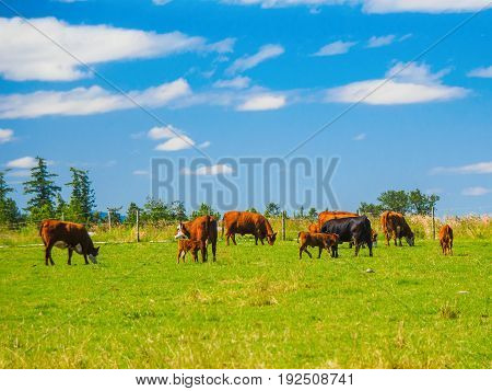 Herd of cows grazing on the grass field