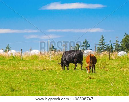 Two cows grazing on the grass field
